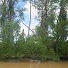 070_Sandakan to Sukau  The Lower Kinabutangan River Sanctuary  The Mangrove