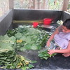 521_Srimangal  Lawachara National Park  Tropical Rainforest  Khashia Ethnic-Tribe Community  Betel Leaf Cultivation