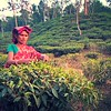 547_Srimangal  Tea Plantation  Woman picking the Two Leaves and a Bud