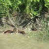 178_Gobra Bazar around Narail  Village  Otters Fishing  Catching Snake