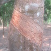 533_Srimangal  Rubber Tree Plantation  Cutting each day  Top to Bottom, on one side  Collect Juice
