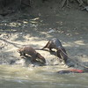 177_Gobra Bazar around Narail  Village  Otters Fishing  Catching Fishes and Snakes