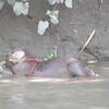 179_Gobra Bazar around Narail  Village  Otters Fishing  Catching Snake