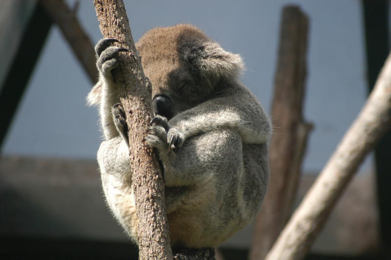 Napping Koala in Sydney