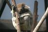 Napping Koala in Sydney