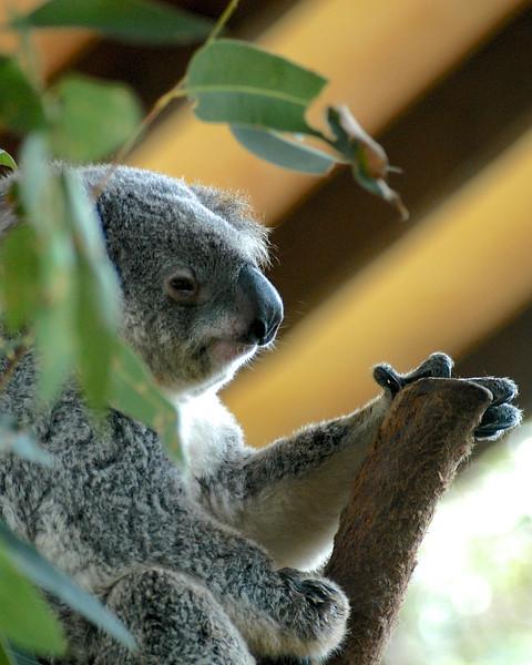Koala Buddy, Sydney, Australia