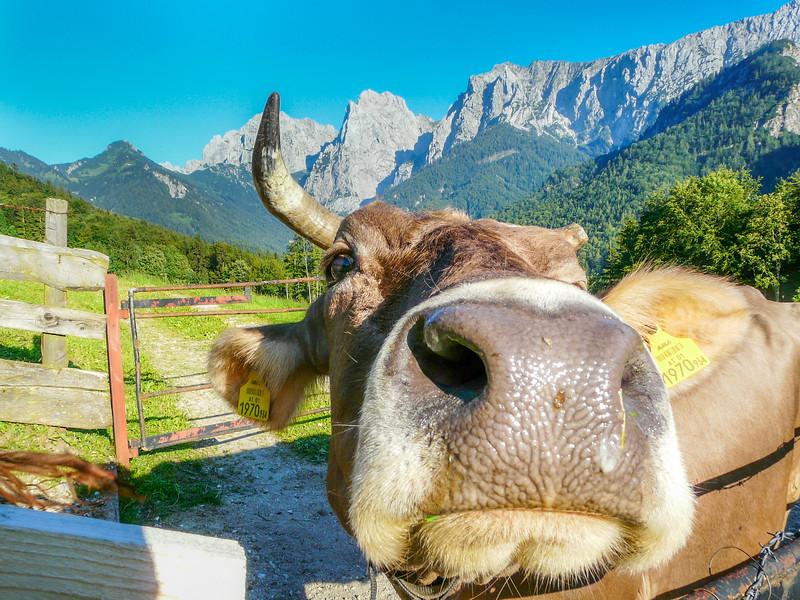 Nosy Cow, Kaisertal, Austria
