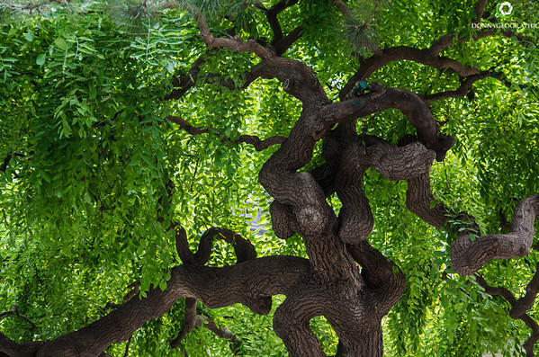 Summer Palcae Tree