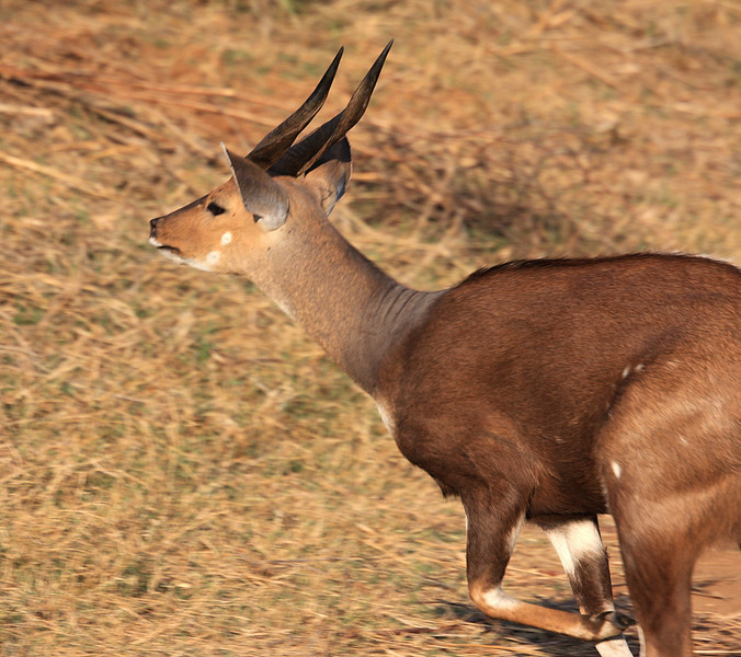 Impala, Entering Kruger National Park