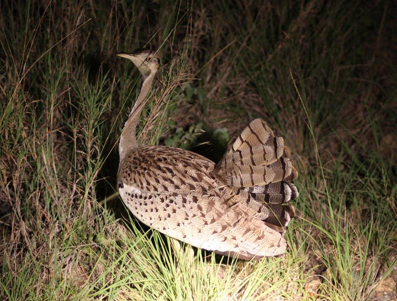 Secretary bird,  Mkuzi Game Reserve