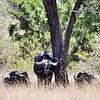 Buffalo, Entering Kruger National Park