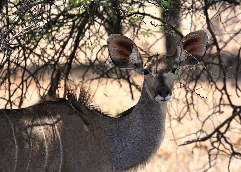 Kudu, Entering Kruger National Park
