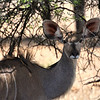 Kudu, Entering Kruger National Park