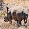 White rhino. Entering Kruger National Park