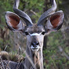 Kudu, Evening game drive, Private Game Reserve