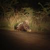 Porcupine.  Mkuzi Game Reserve