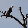 Eagle, Entering Kruger National Park
