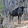 Wildebeest, Could be a Gnu. Definitely not UNIX. Evening game drive, Private Game Reserve