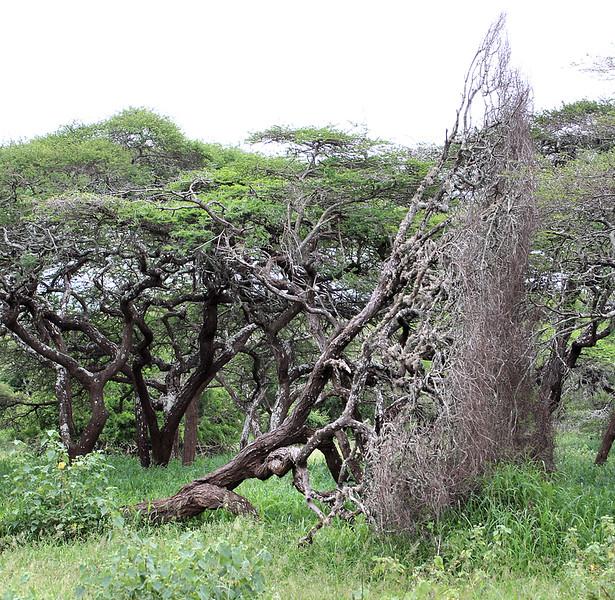 Morning game walk, Mkuzi Game Reserve