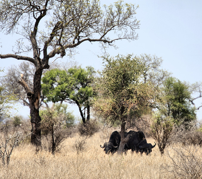 Buffalo, Entering Kruger National Park