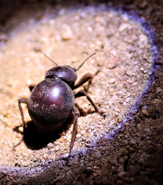 Campfire beetle Kruger National Park