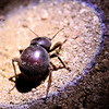 Campfire beetle Kruger National Park