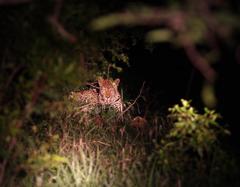 Leopard! Mkuzi Game Reserve