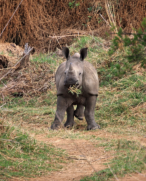 Morning game walk, Private game reserve. Yes. WALK. This is as close to a white rhino as you want to get on foot.....
