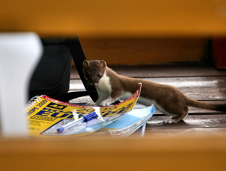 A clever stoat, that can read a map upside down