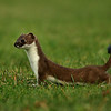 A Stave stoat
