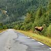MOOSE (Elk)