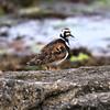 A bird, Penmarc'h