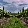 A random vinyard