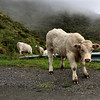Moo ve out of my way