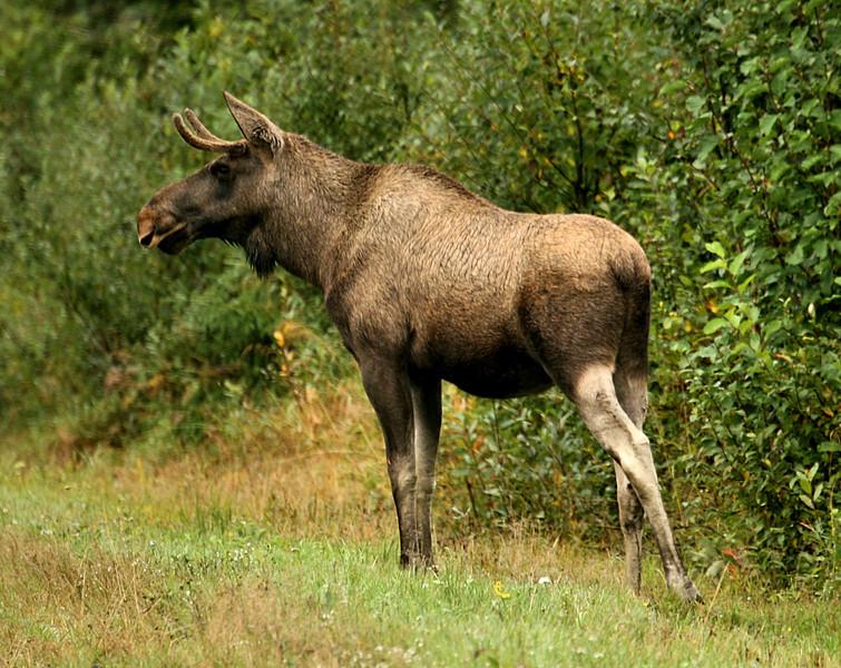 D130. A wild Elk, Norway