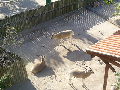 209_Lisboa_Zoo_Famille_d_Impalas