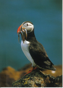 015_Puffins_In_September_leave_for_the_open_Atlantic_ocean