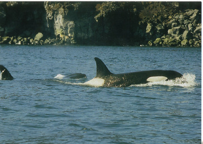 006_Orca_or_Killer_whales