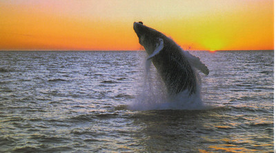 007_Humpback_Whale_Migrate_to_Icelandic_seas_summer_months