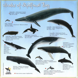 009_Whales_of_Skjaffandi_Bay