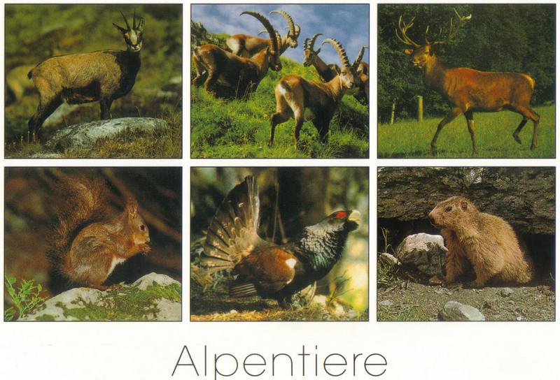 018_Alps_Wildlife_Steinbock_Murmeltier