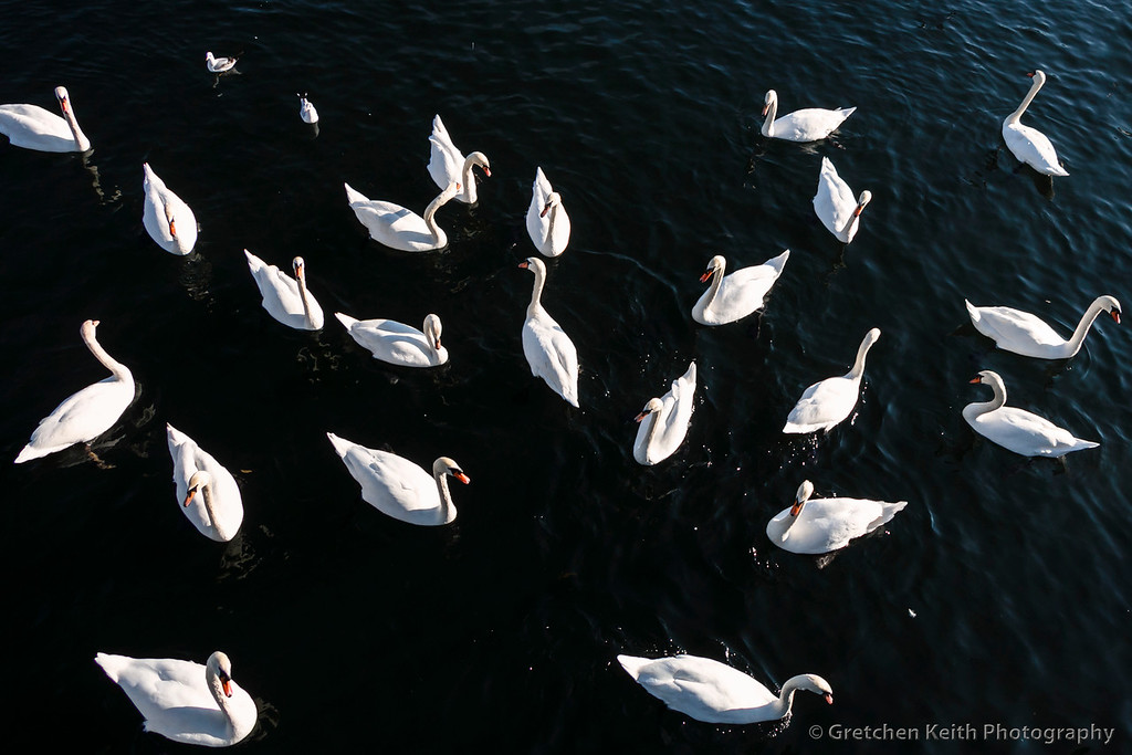 Swans-7800%20c-XL.jpg