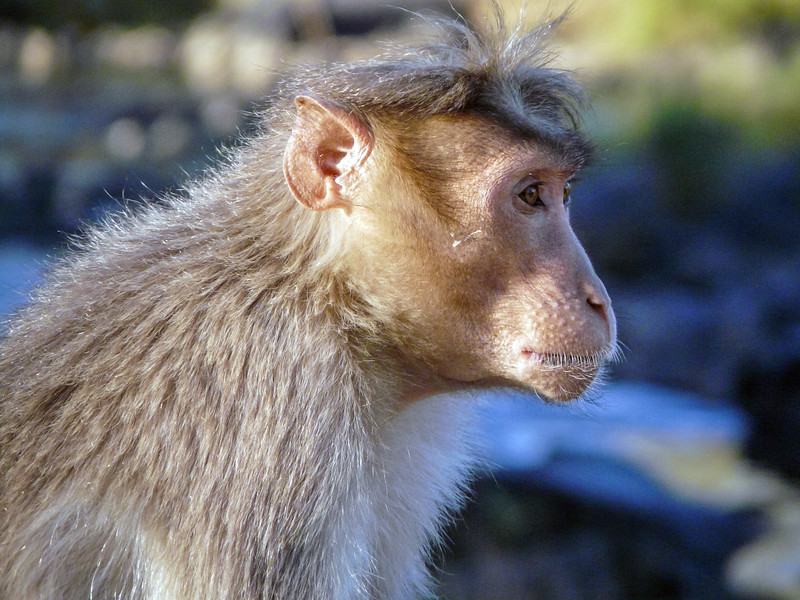 Rhesus Profile, Mudumalai, India
