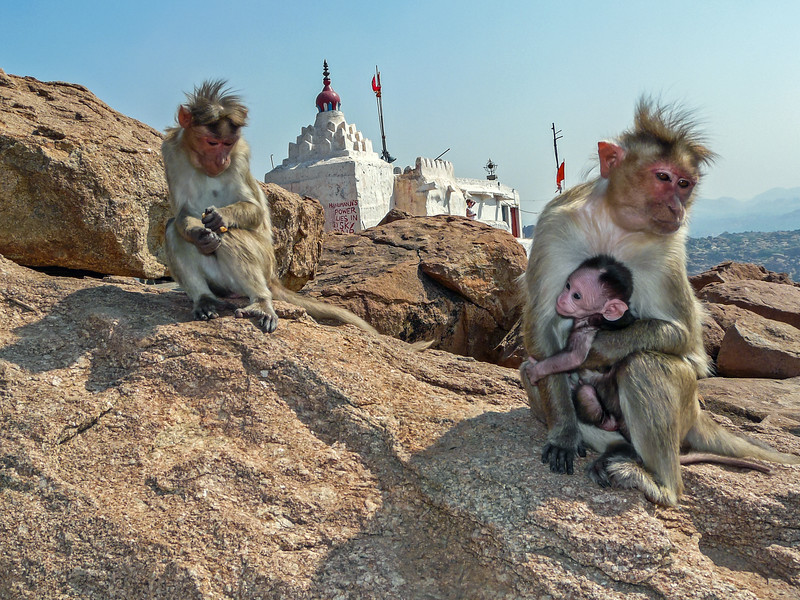 Monkey Mommies at Hanuman's Temple, Hampi, India