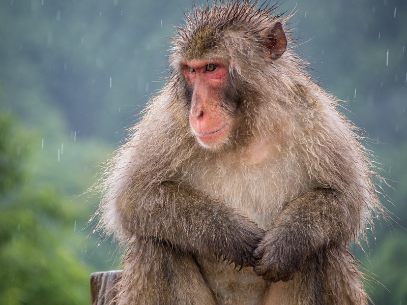 Macaque Portrait, Kyoto, Japan