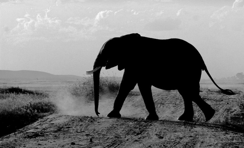 Experimenting with almost silhouetting elephant in high contrast image