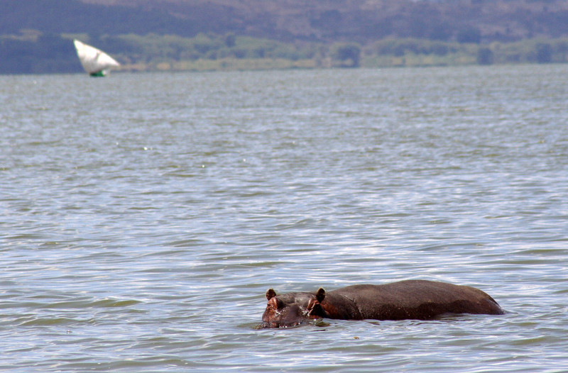 Hippo at Lake Navasha