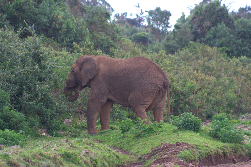 This lone male elephant frequented our vacation spot for the two days we were on Mount Kenya.