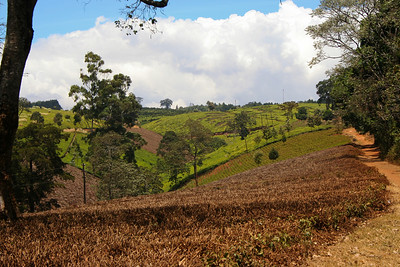 These are the same tea field as earlier, the picture was taken during the drought at the beginning of 2006