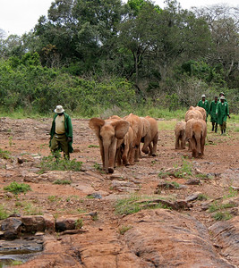 The orphan elephants being led to feeding time.